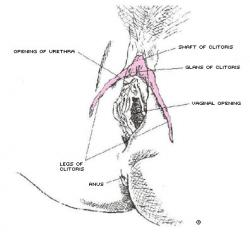 Diagram of the Female Clitoris